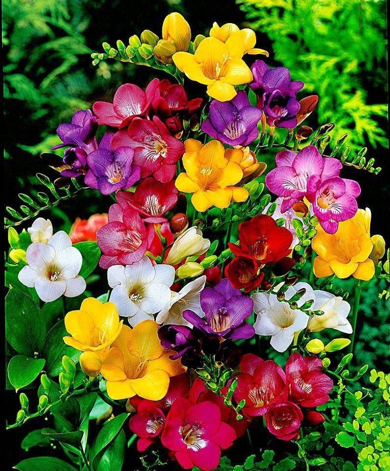 There Are So Many Different Types Of Flowers From Around The World This List Offers Some Of The Most Popular Th Beautiful Flowers Freesia Flowers Bulb Flowers