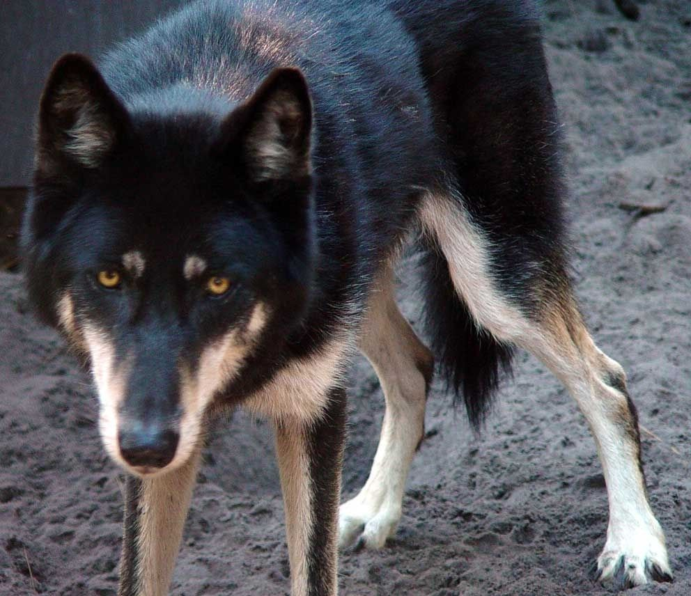 Wolf German Shepherd Wolf Mix Wolf Dog Rottweiler Dog