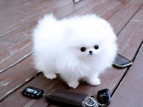 Perro De Raza Pequeña Pomerania Mascotas