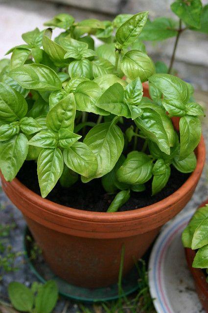 Cómo cultivar albahaca en macetas Gardening tips Pinterest