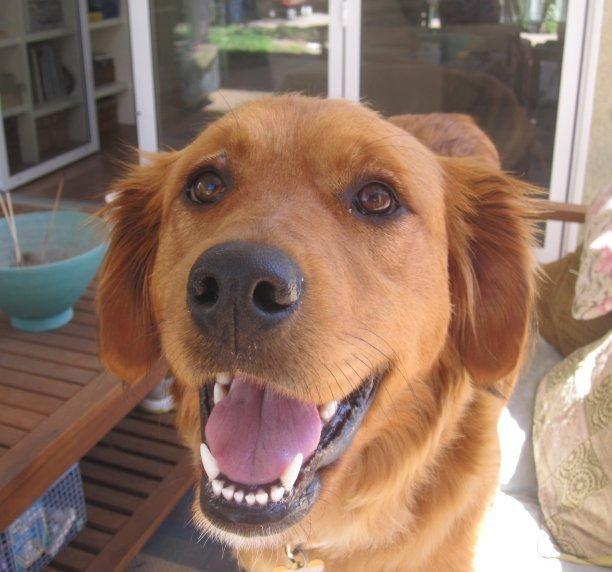 Adopt Guinevere On Dogs Golden Retriever Golden Retriever