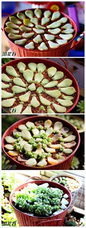 Photo of So vermehren Sie Sukkulenten Einfache Videoanweisungen