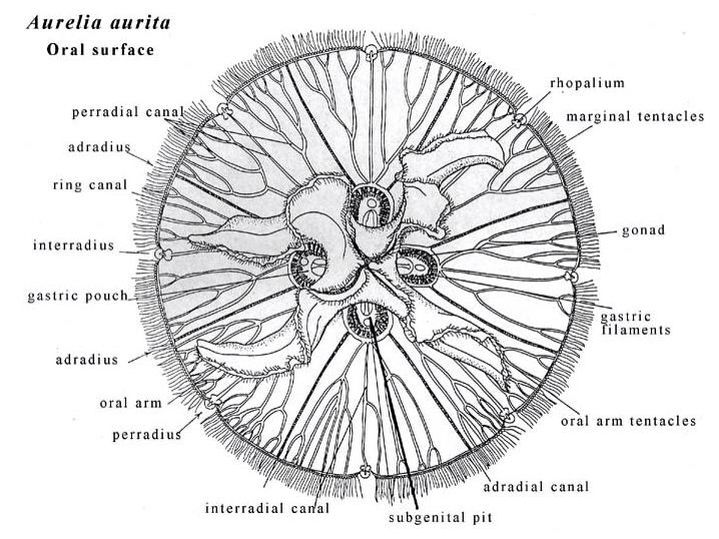 Anatomy of a Moon Jellyfish | Jellyfish | Pinterest | Jellyfish