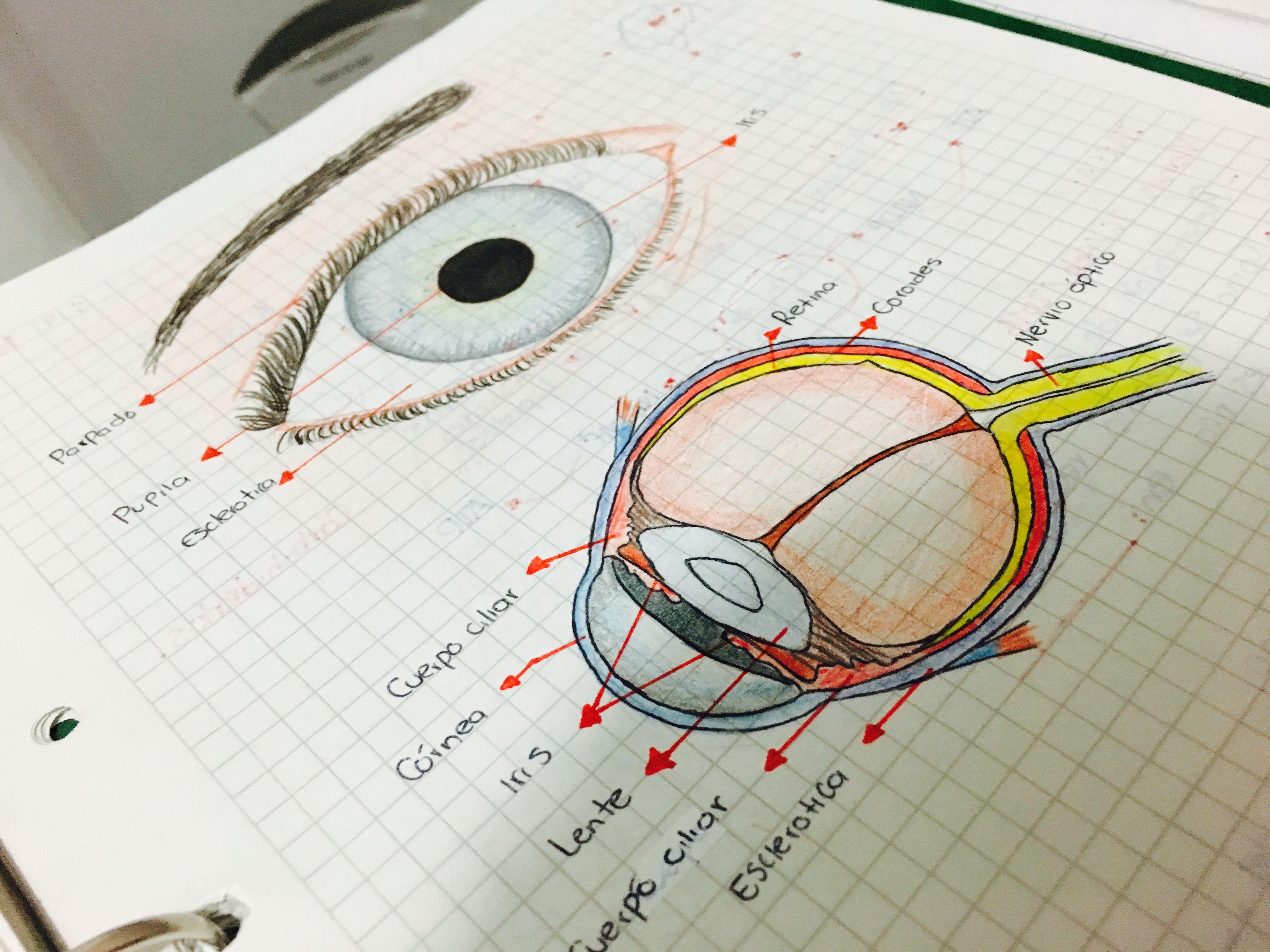 Ojo humano y sus partes | Anatomy | Pinterest | Ojo humano, Ojos y ...