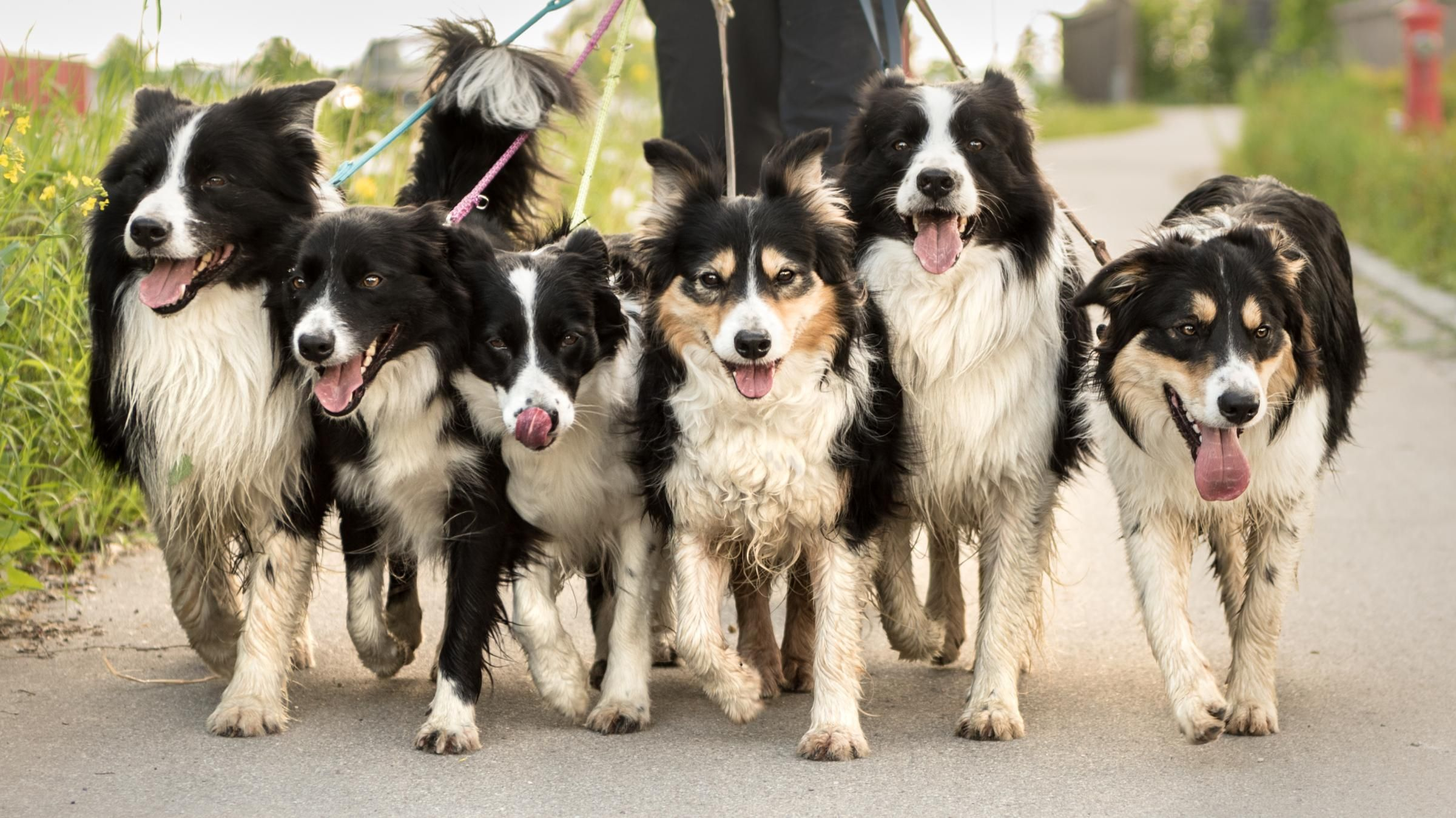 Cooped Up Border Collies Take To The Therapy Sofa Dog Behavior