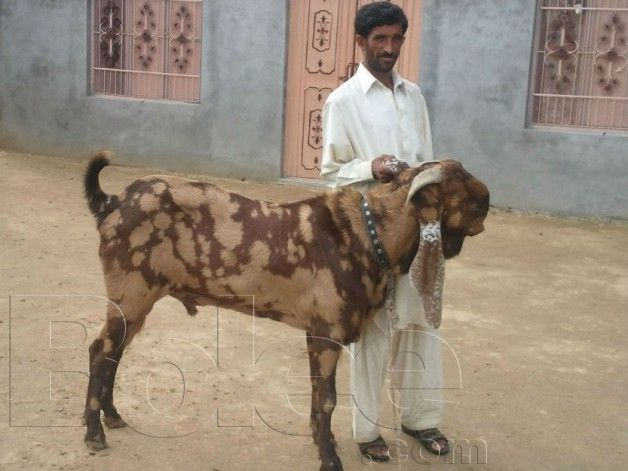 Beetal Goats | pure beetal goat for sale - Rawalpindi | goat