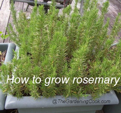 Fresh Rosemary U2013 A Great Patio Herb Fresh Rosemary Is One Of My Favorite  Spices.