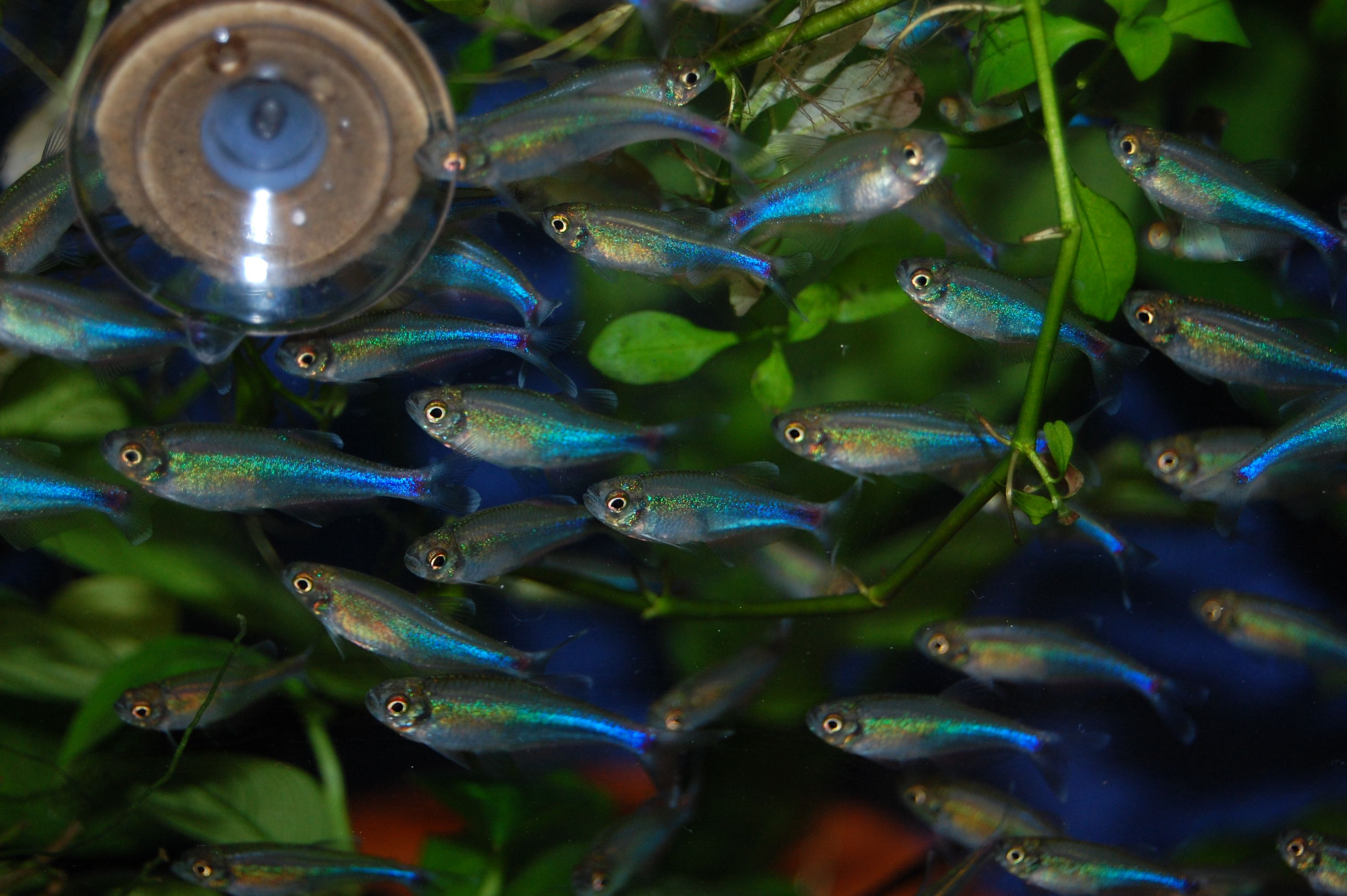 Neon tetra for sale aquariumfish net - Cochu S Blue Tetra Planted Aquariumaquarium Fishfish