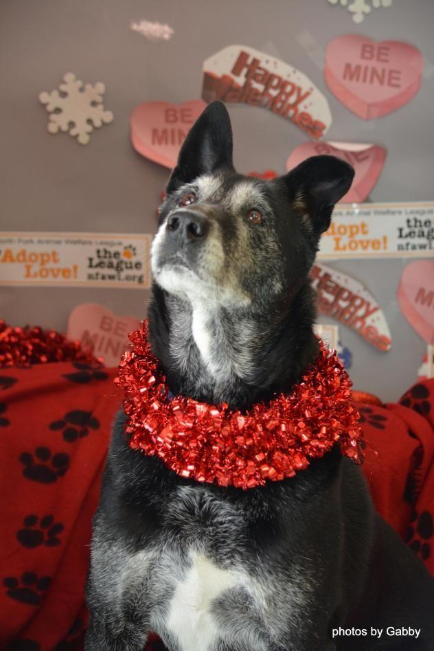 Adopt Dodger On Dog Adoption Animal Welfare League Catahoula Leopard Dog Mix