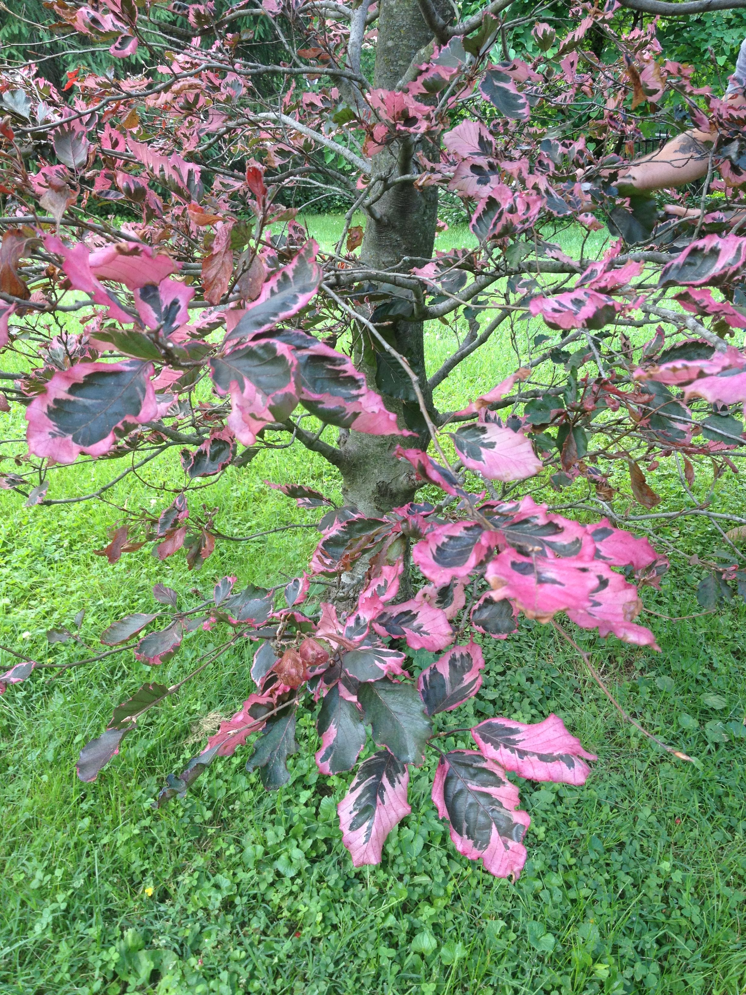 Tricolor European Beech | Flowers and Trees | Pinterest | Flowers ...