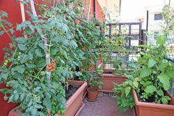 gemüse auf dem balkon pflanzen - 9 gemüsesorten für anfänger, Garten und bauen