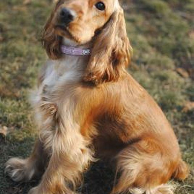 Dogs With Long Hair On Floppy Ears Are More Prone To Ear