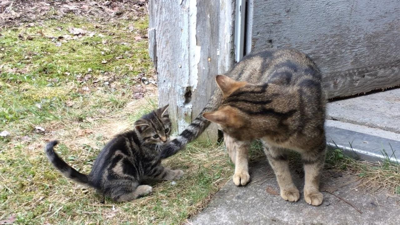 Kitten Is Punished After Chasing Mommy S Tail Cute Youtube In 2020 Kitten Beautiful Cats I Love Cats