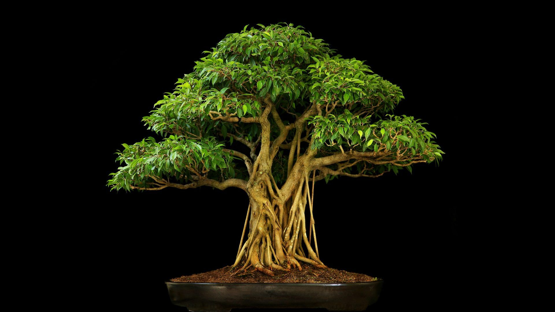 Trees Tree Black Bonsai Leaves Beautiful Nature Wallpapers 1920x1080 For Hd 16 9 High Definition 1080p 900p 720p Wi Ficus Bonsai Tree Bonsai Tree Bonsai Ficus
