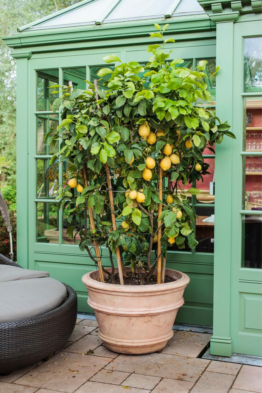 Zitronenbaum: Urlaubsstimmung für Zuhause