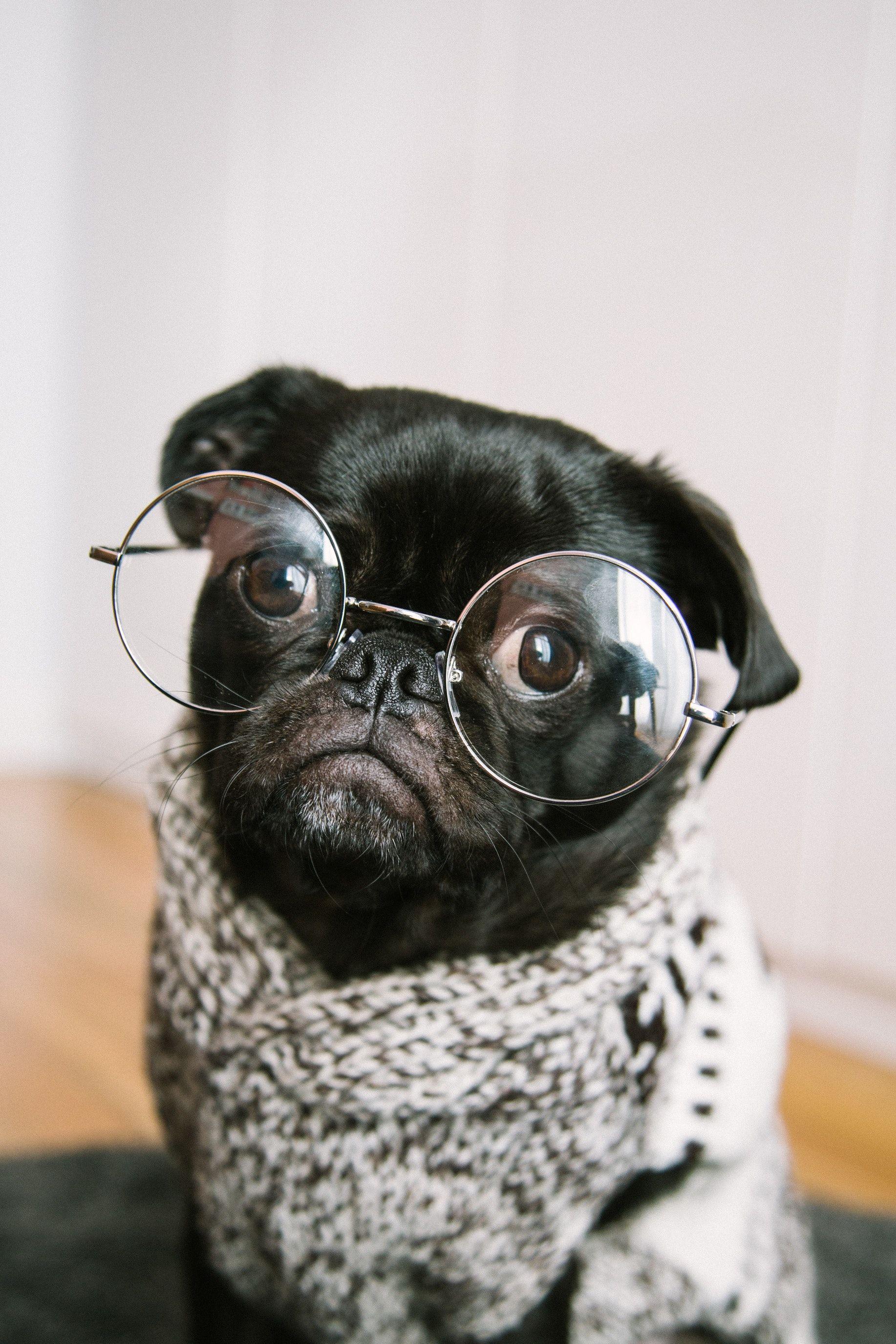 Smart Black Pug Dog With Glasses Black Pug Smartest