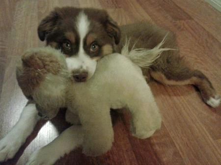 Pippa The Australian Shepherd Pictures 962143 My Fantasy Dogs