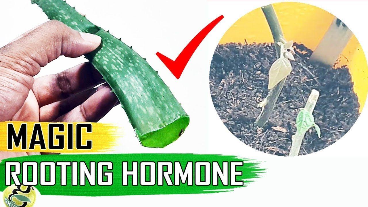 MAGIC ROOTING HORMONE ALOE VERA GEL for CLONING Plants vs