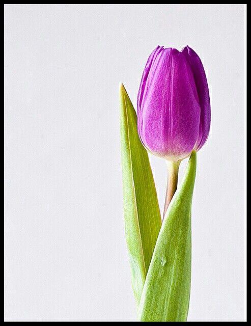 Pin By Elisleri On Cicekler Tulip Painting Purple Tulips Flower Pictures