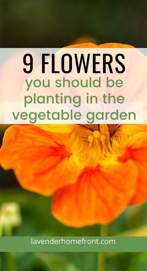 Learn the basics of companion planting with these 9 flowers that should be added to your vegetable garden. Grow healthier vegetables by adding flowers. #companionplanting #vegetablegarden #gardeningtips #gardenplanting