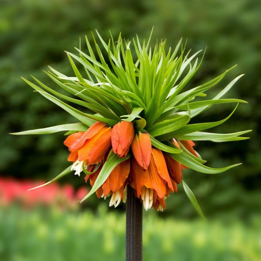 Fritillaria Crown Imperial Red Easy to grow bulbs