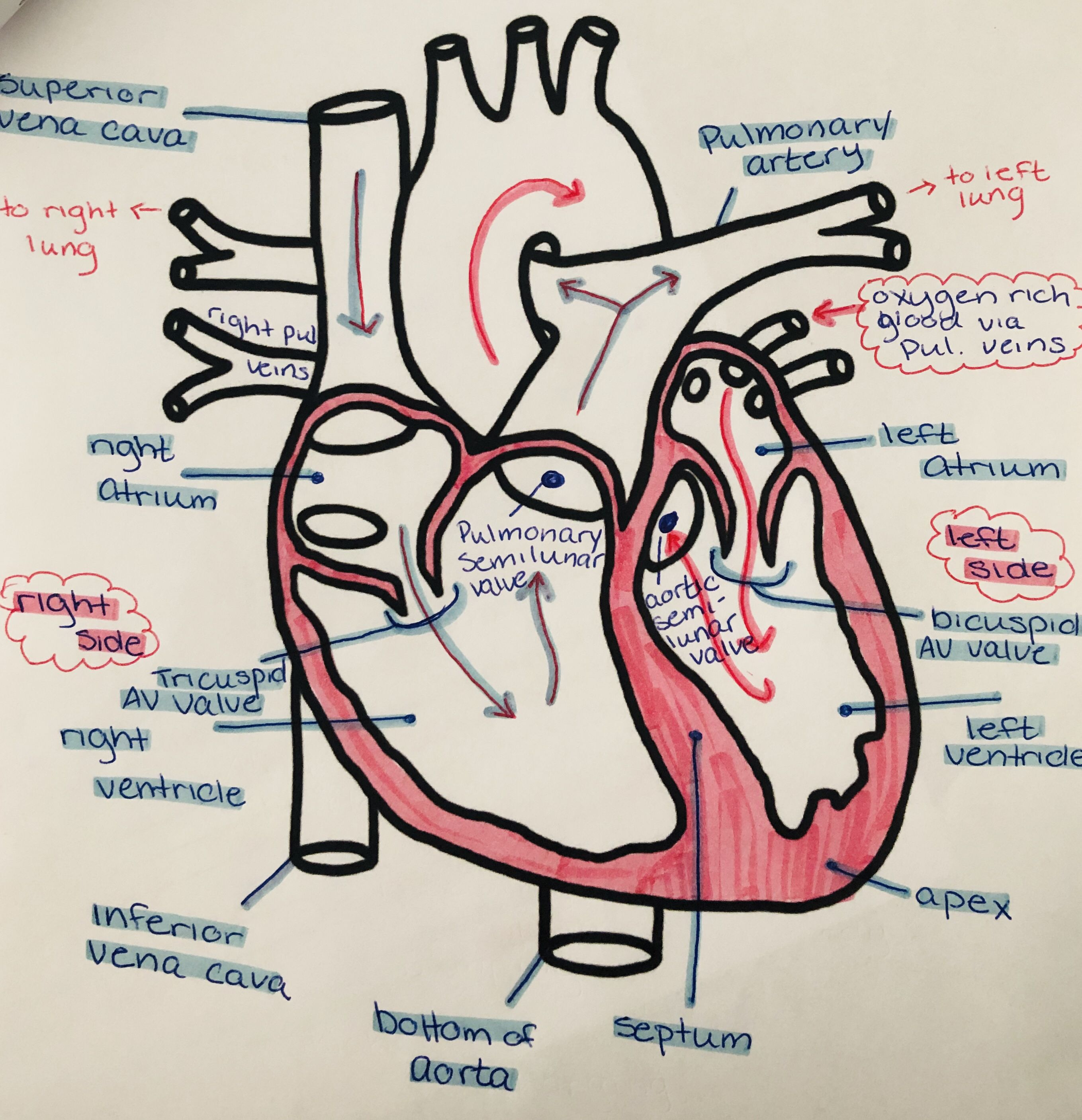 #notes #school #college #study #stationery | Heart diagram ...