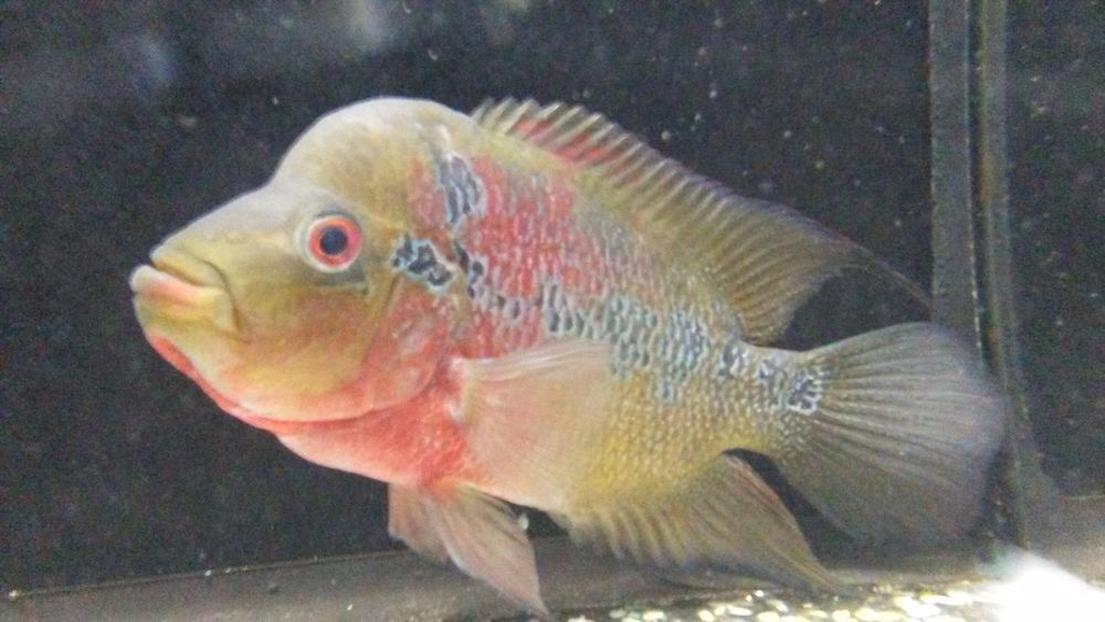 Japanese flowerhorn cichlid pet supplies fish for Fish and more pet store