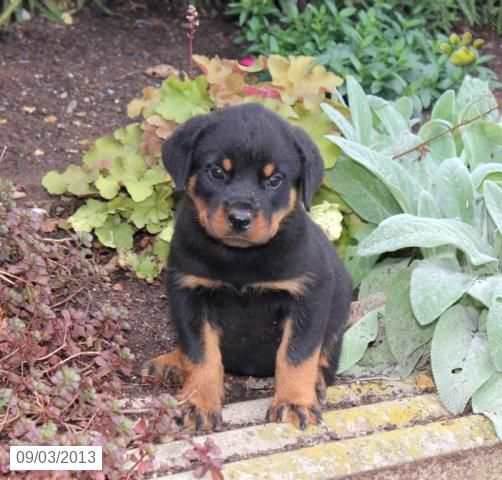 Reba Rottweiler Puppy For Sale In Quarryville Pa Rottweiler
