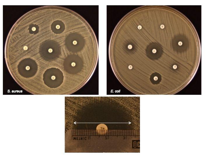 Kirby-Bauer test on coagulase (-) S. aureus and E.coli grown on MH ...