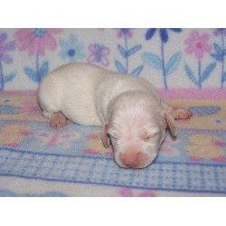 Dachshund Puppies For Sale Dachshund Puppies For Sale Dachshund Puppies Puppies For Sale