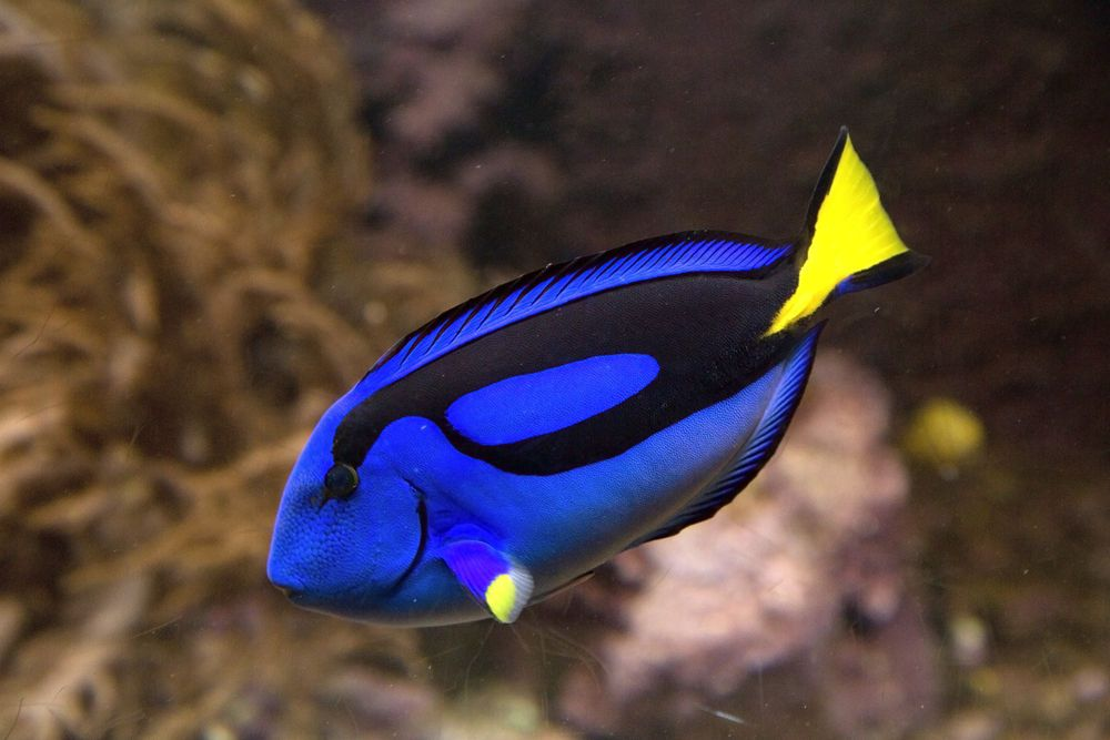 Facts About Regal Blue Tangs Blue Tang Fish Dory