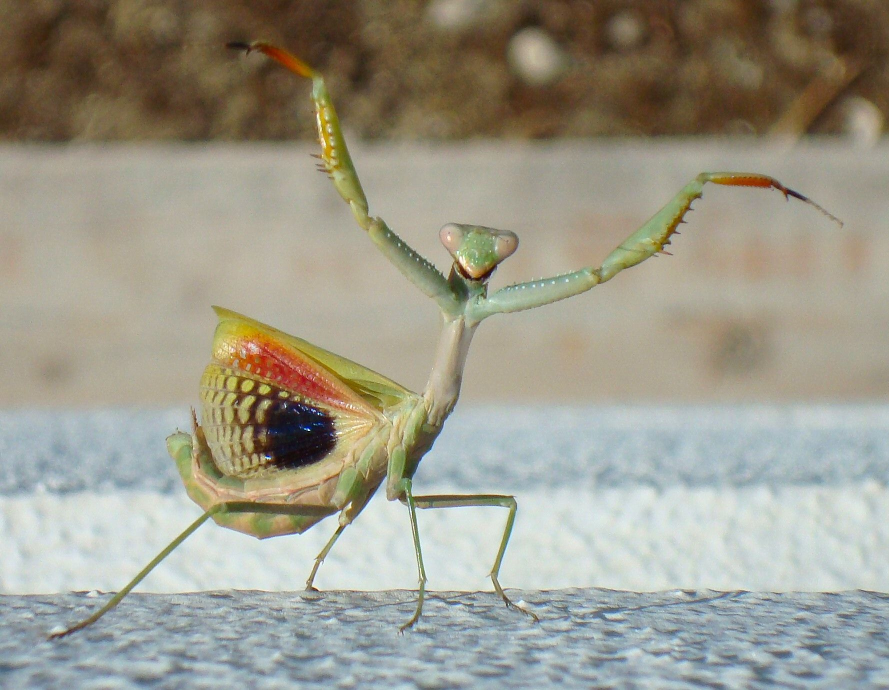 praying mantis - Google Search | Mantises | Pinterest | Seasons ...