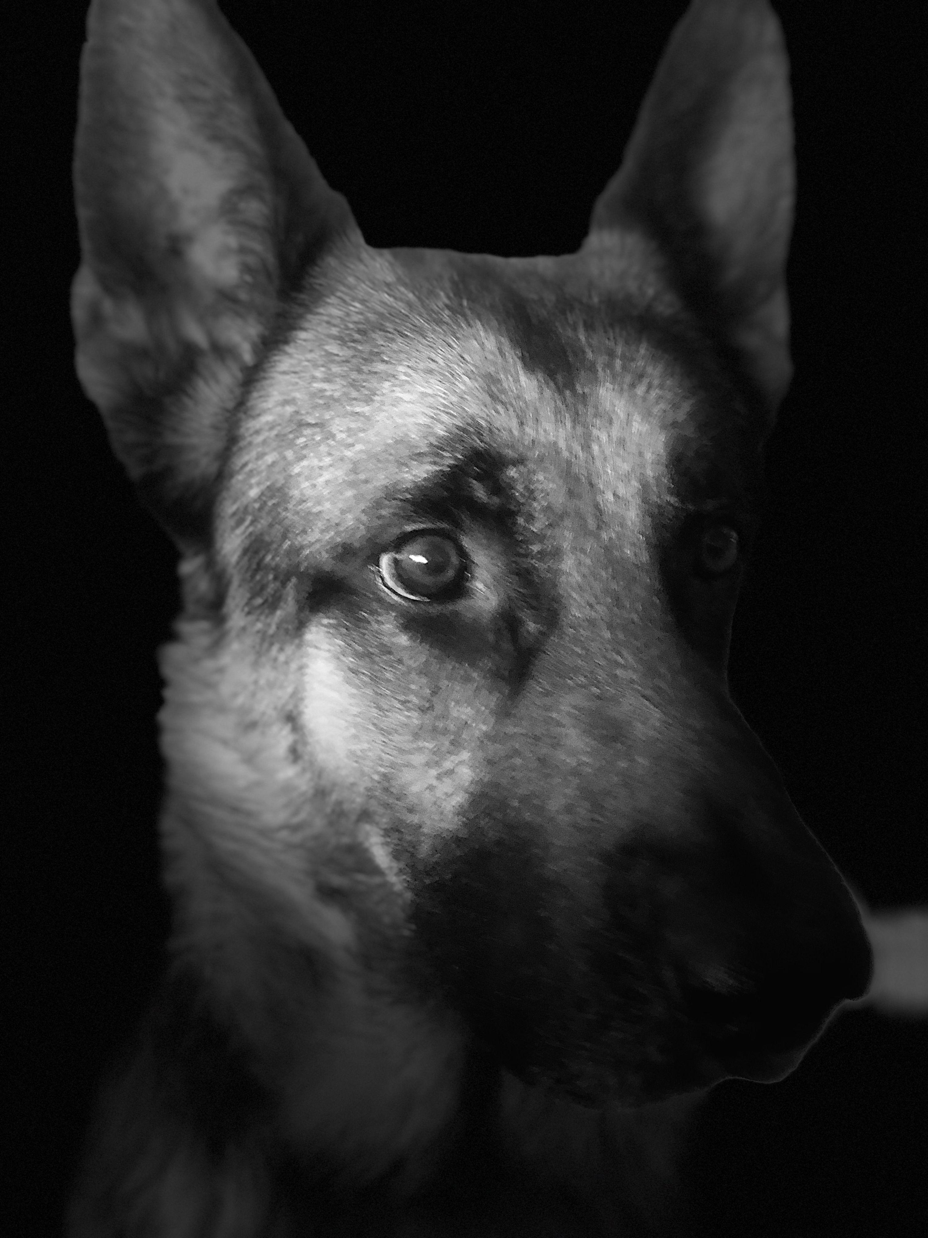 GSDRocky Shepherd dog, German shepherd, Gsd