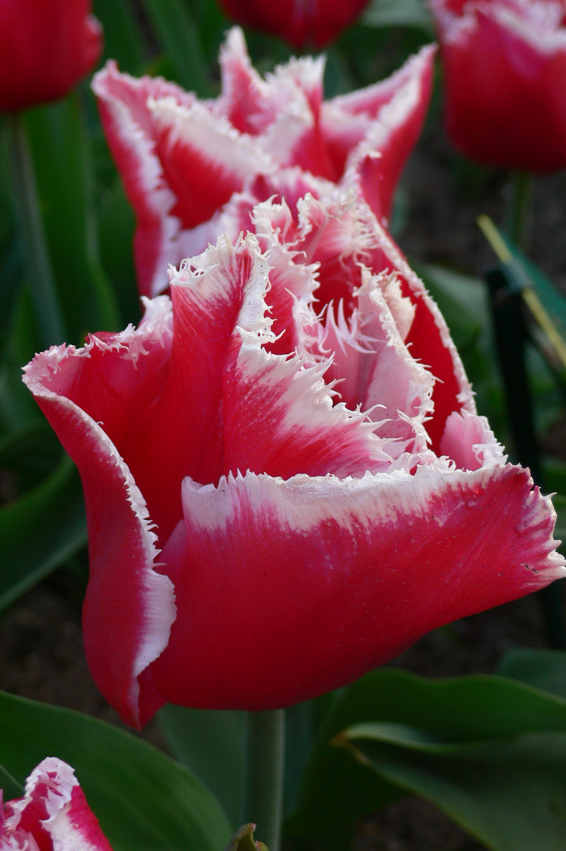 Tulip Canasta - Dutch Garden World
