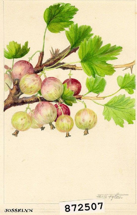 Don't forget berry pies for Pi day!  1924 Watercolour of Josselyn Gooseberries by Faith Fyles for Canadian Department of Agriculture Horticulture Research Program