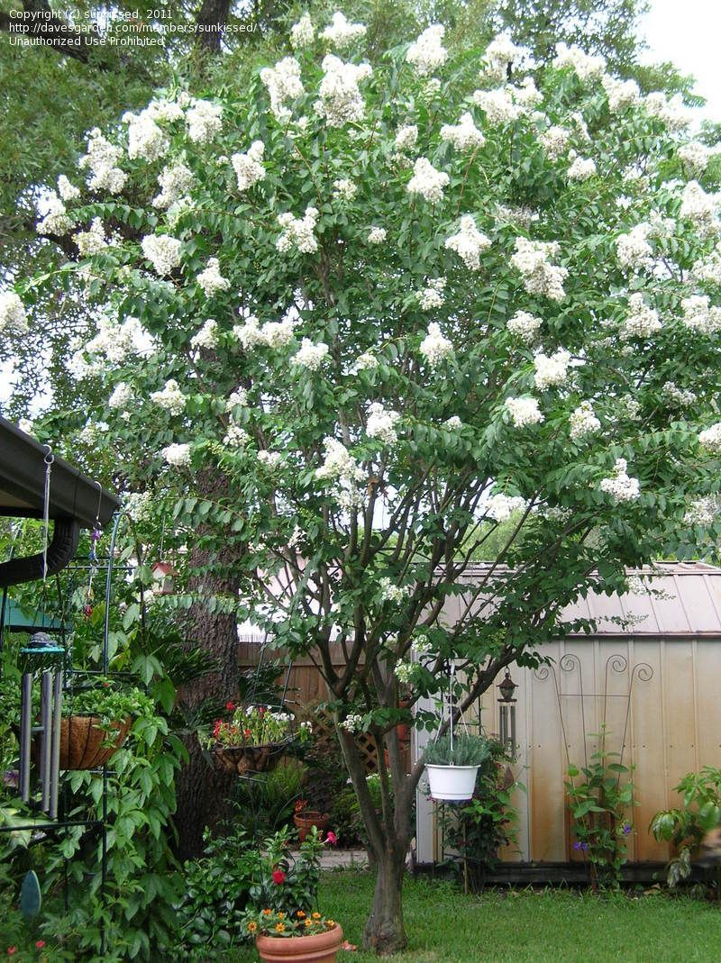 Natchez crape myrtle | Favorite Plants for the Yard | Pinterest ...