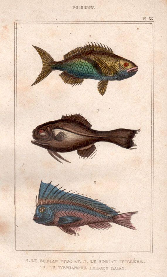 bagrid catfish print Salmon fish underwater world fish decor vintage fish print 1835 Fish engraving Original antique fish print