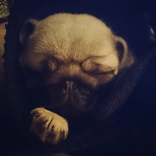 Sleepy Baby Pug In A Blanket In Desperate Want Of A Pug Baby