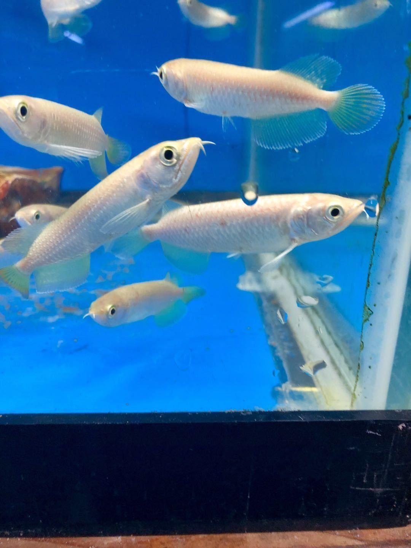 Jardini Arowana Freshwater Fish For Sale Fish For Sale Fish