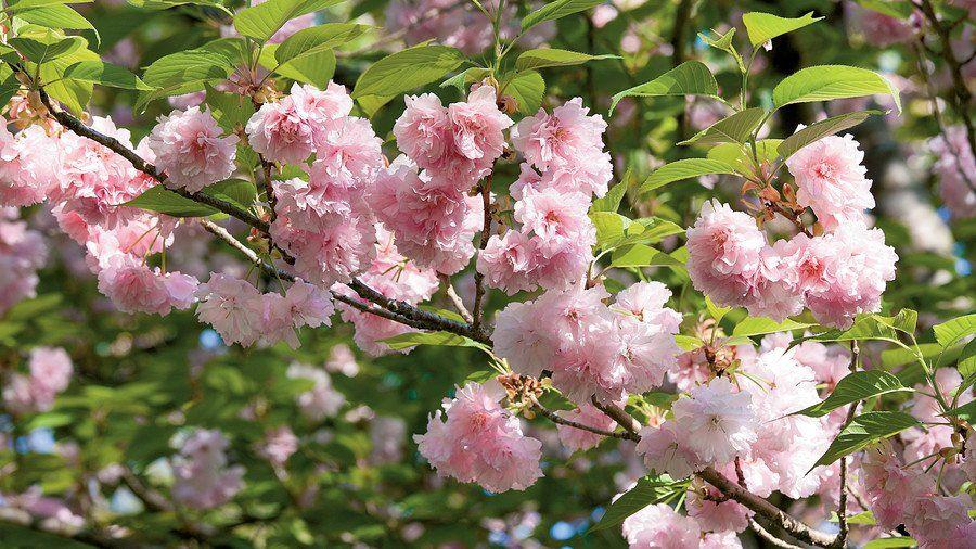 Grow Your Own Cherry Blossoms Flowering Cherry Tree Japanese Cherry Tree Kwanzan Cherry