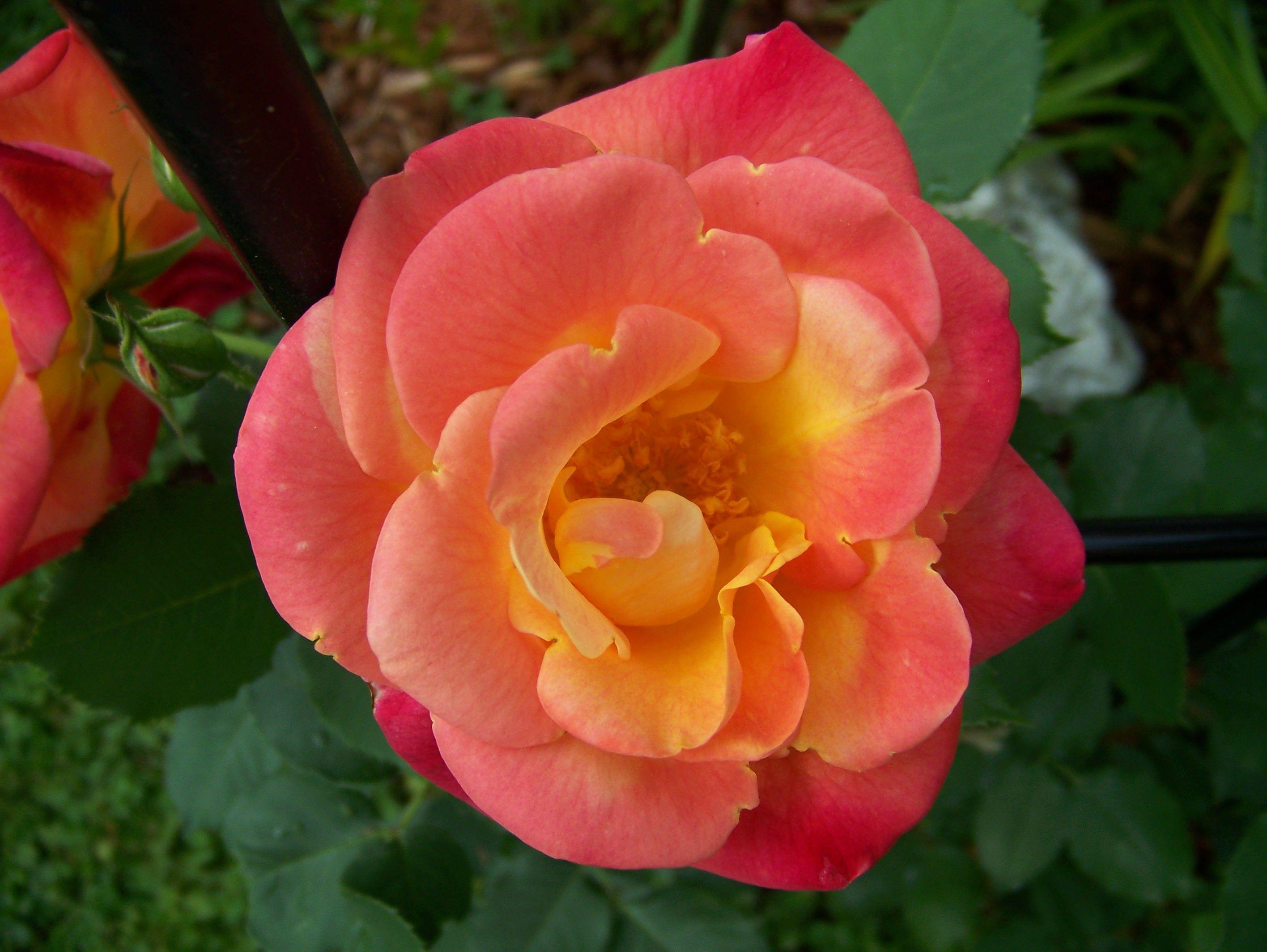Jacobs Ladder Climbing Rose Garden Pinterest Gardens