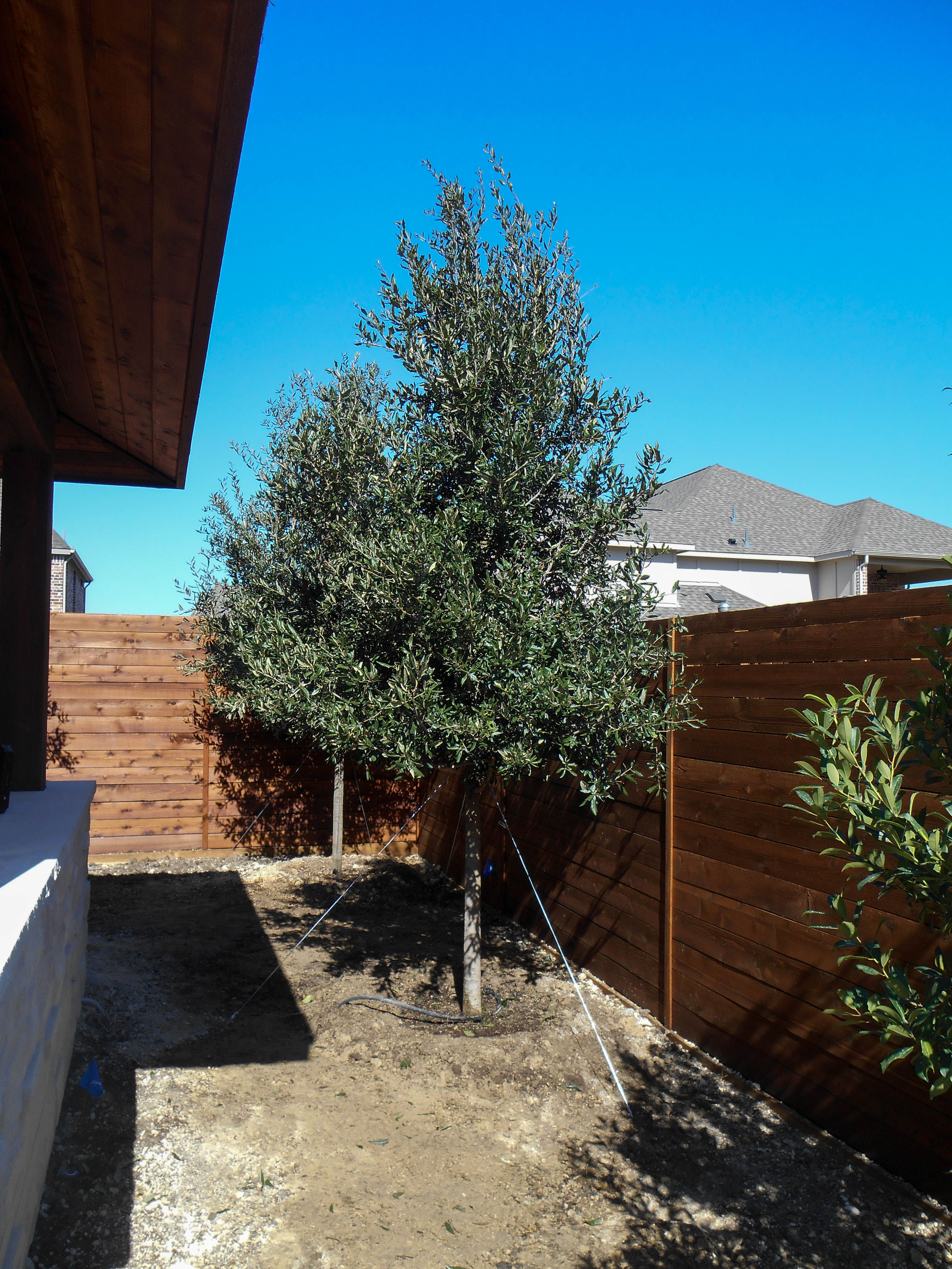 Live Oak Tree In Small Backyard Love The Horizontal Fencing Too Image From Treeland Nursery