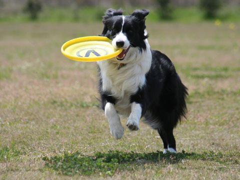 """GOT IT!"" .. frisbee + border collie = love"