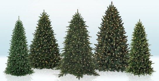 Fir, pine and sprucethere are many Christmas tree types to choose