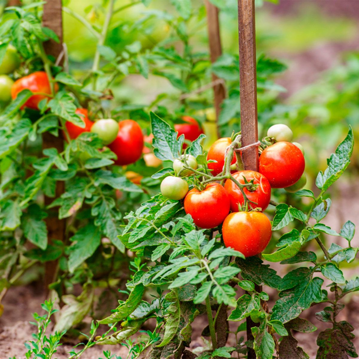 Five Ways To Grow Tomatoes Cherry Tomato Plant Growing Tomatoes