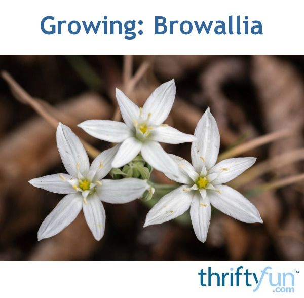 Growing browallia amethyst flowerstar flowerbush violet star flower mightylinksfo