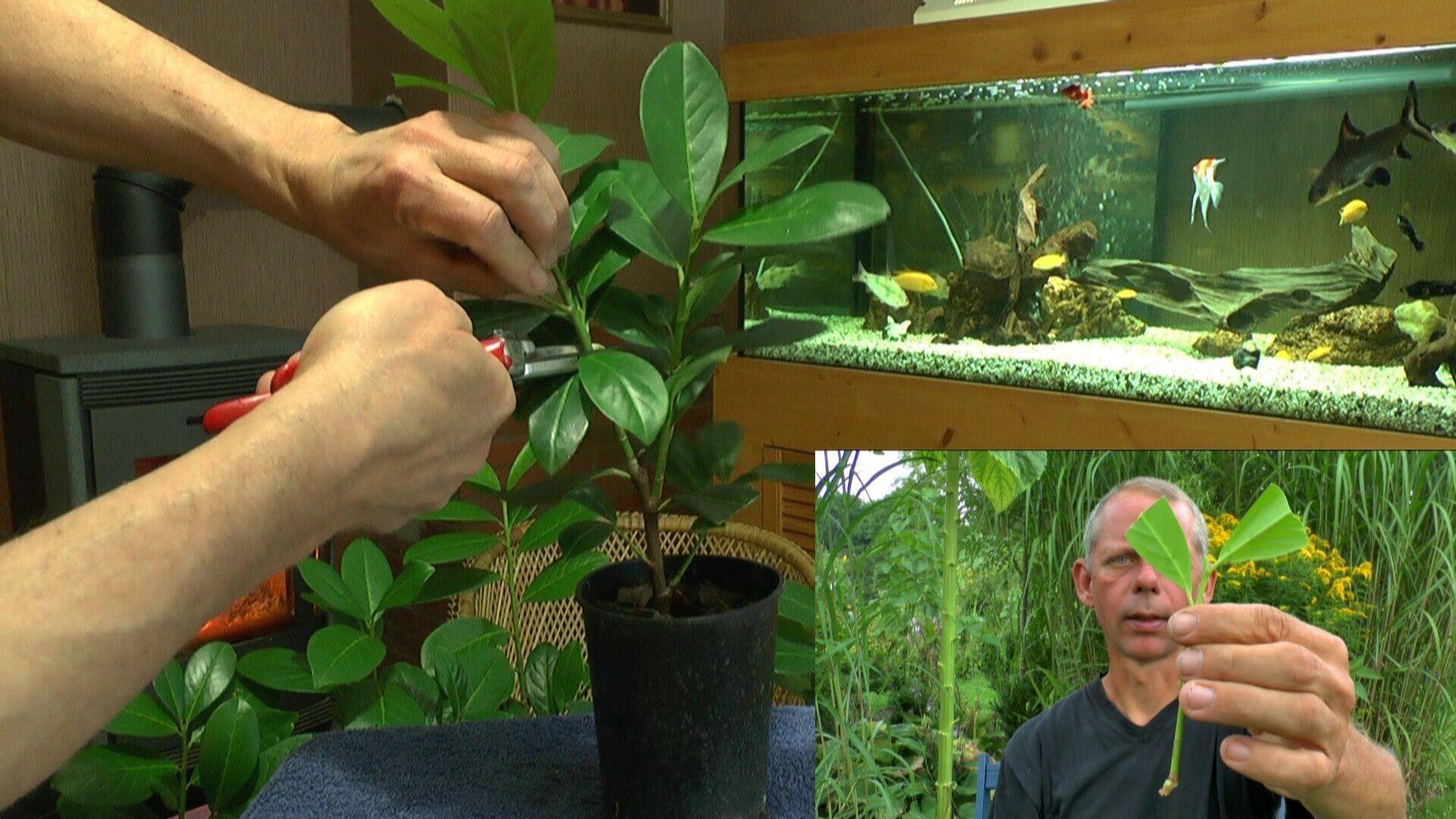 vom steckling zur pflanze kirschlorbeer einfach selber vermehren pflanzen vermehrung. Black Bedroom Furniture Sets. Home Design Ideas