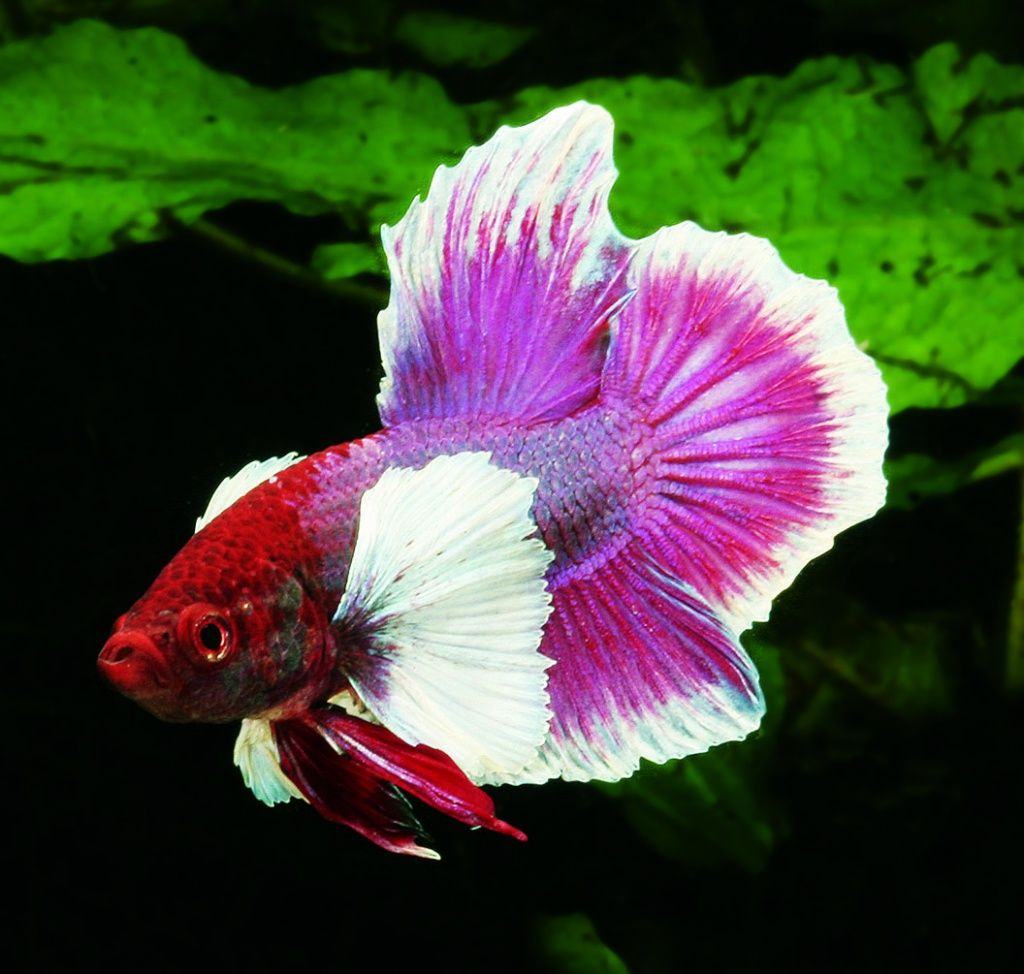 Elephant betta fish this one looks exactly like my for Big betta fish