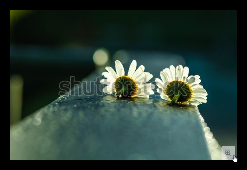 Two White Chamomile Flowers As An Expression Of Love زهرتا أزهار البابونج الأبيض كتعبير عن الحب Chamomile Flowers Photo Editing Photo Image