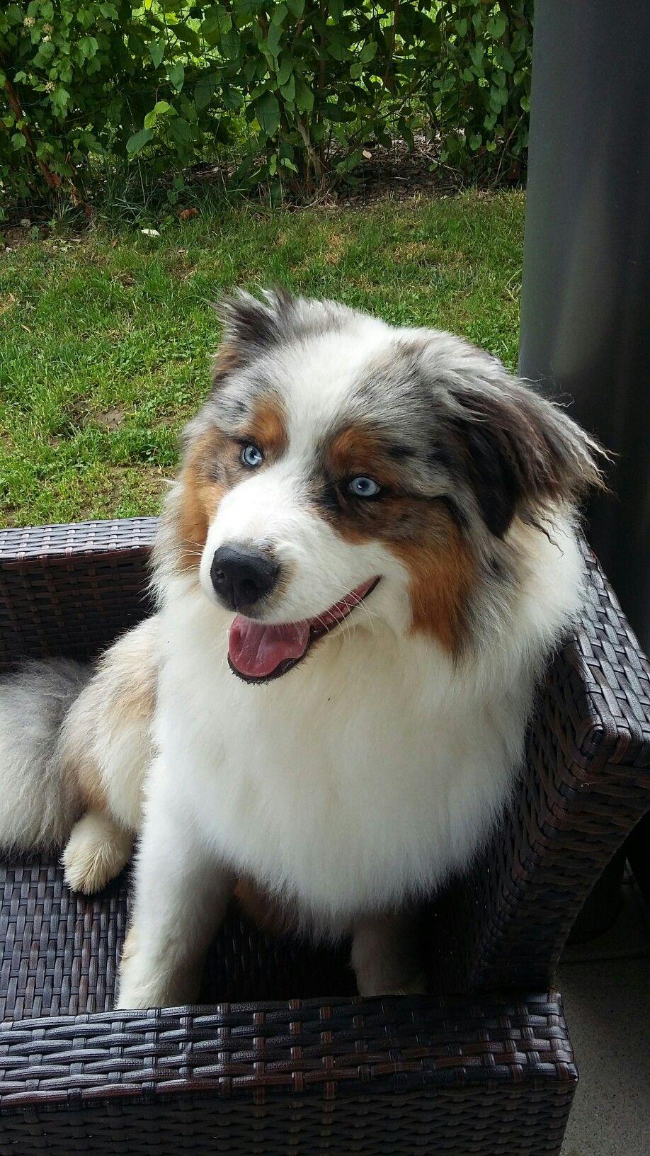 Pin By Grace Jordan On Berger Australien Aussie Dogs Australian Shepherd Dogs